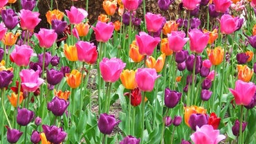 Can I Transplant Tulips in the Spring?