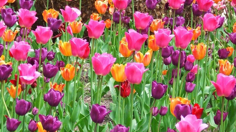 Can I Transplant Tulips In The Spring Reference Com
