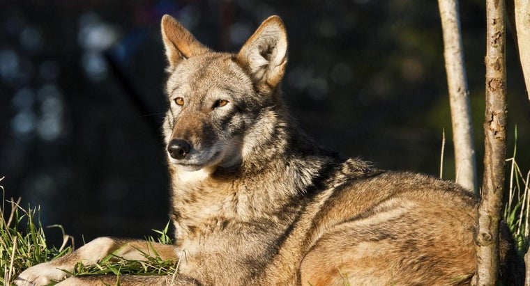 Where Can You Find Wolf Hybrid Breeders?