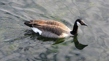 Where Do Canada Geese Migrate To?