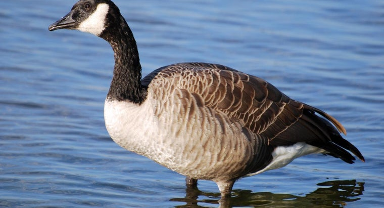 Where Do Canada Geese Spend the Winter?