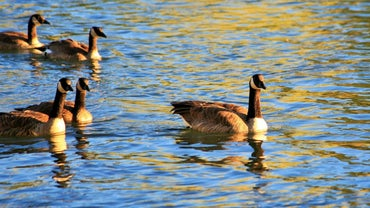 Do Canadian Geese Mate for Life?