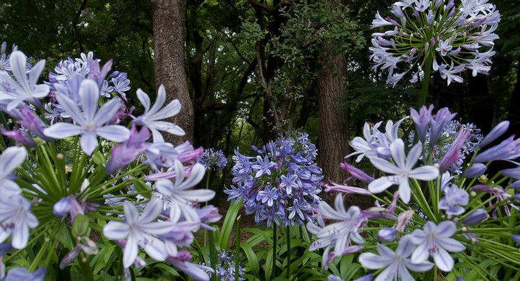 How Do You Care for African Lilies?
