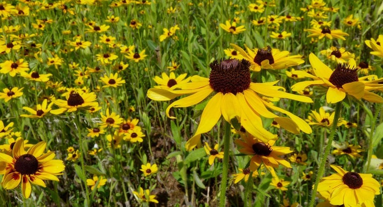 How Do You Care for Black-Eyed Susan Plants?