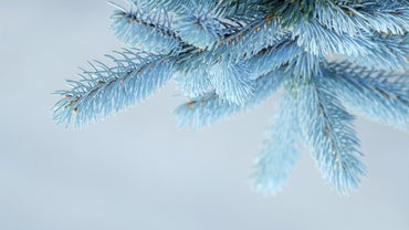 How Do You Care for a Blue Spruce Tree?