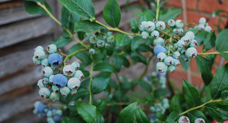How Do You Care for Blueberry Bushes?