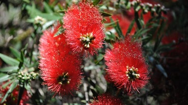 How Do You Care for the Bottlebrush Tree?