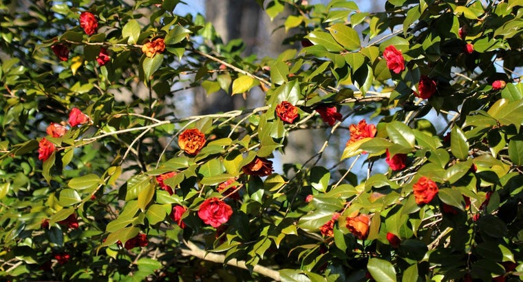 How Do You Care for a Camellia Bush?