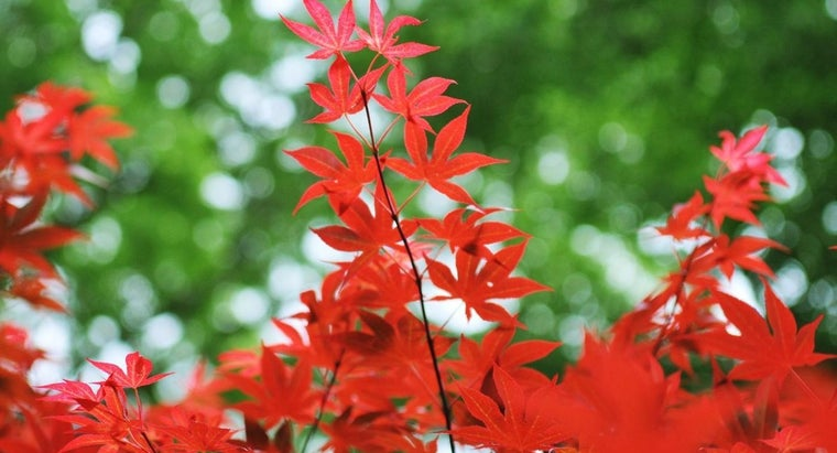How Do You Care for a Fireglow Japanese Maple?