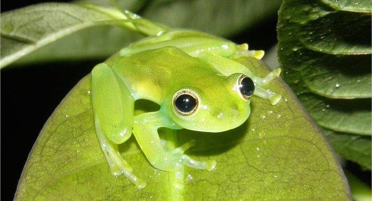 How Do You Care for a Glass Tree Frog?