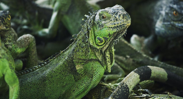 How Do You Care for a Green Iguana?