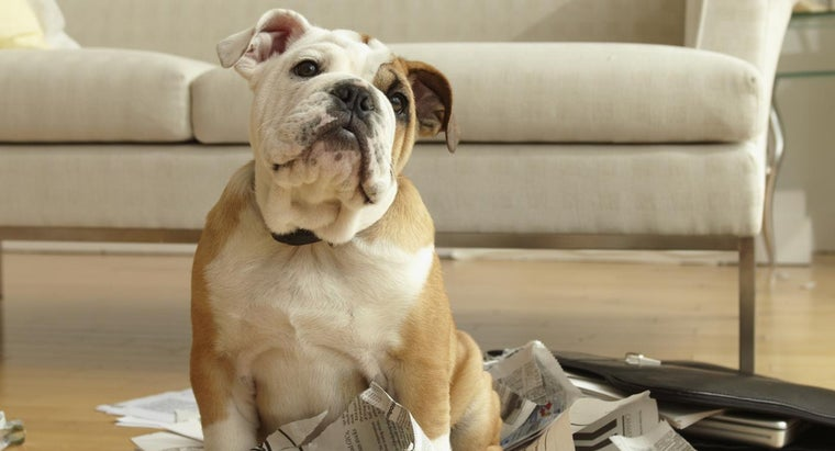 Are There Care Issues Specific to Bulldogs?