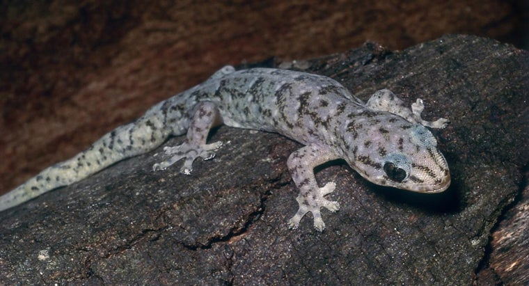 How Do You Care for a Marbled Gecko?
