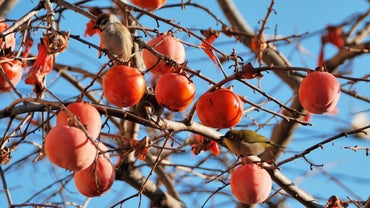 How Do You Care for a Persimmon Tree?
