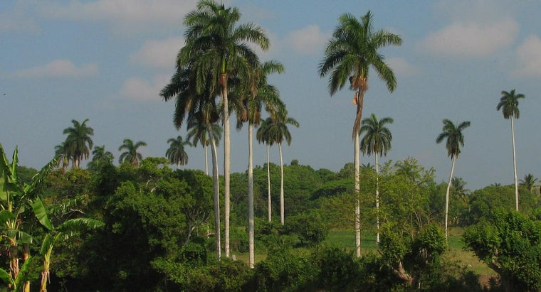 How Do You Care for Queen Palm Trees?