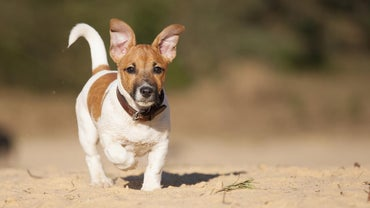 What Is A Wire Haired Jack Russell Terrier Reference Com