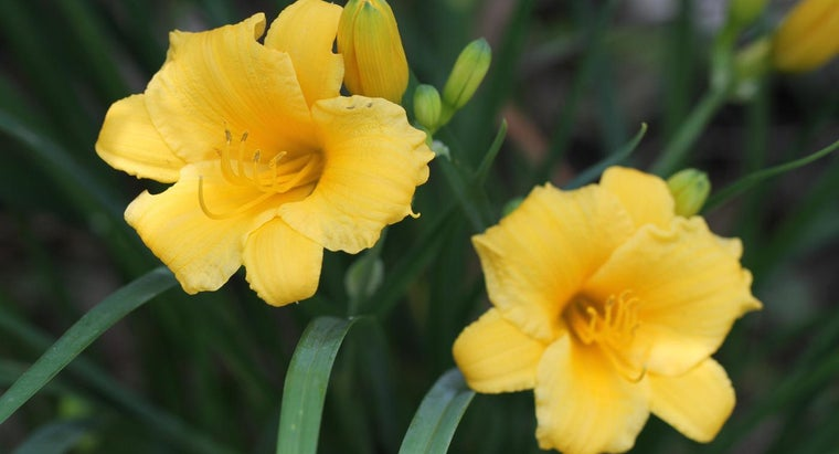 How Do You Care for Stella D'Oro Daylilies?