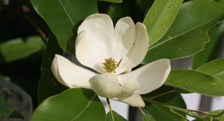 How Do You Care for a Sweetbay Magnolia Tree?