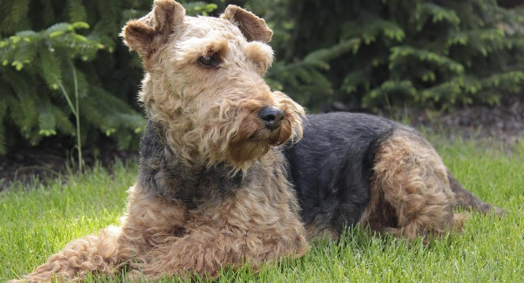 How Do You Care for a Welsh Terrier?