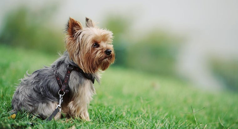 How Do You Care for a Yorkie Puppy?