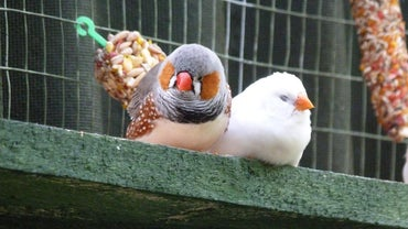 How Do You Care for a Zebra Finch?
