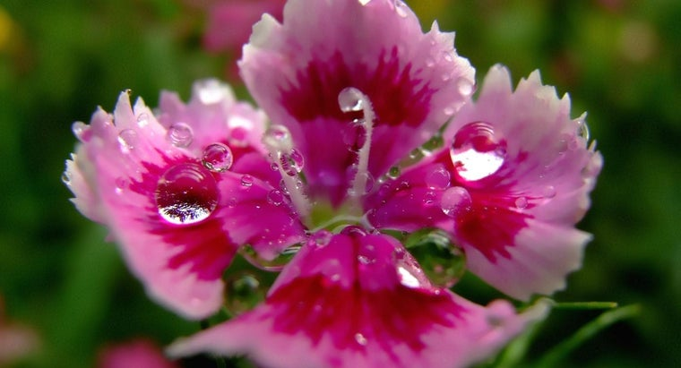 When Do Carnations Bloom?