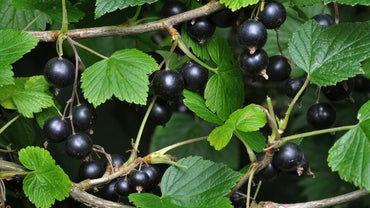 What Is Cassis Fruit?