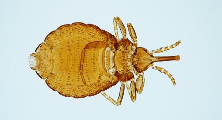 What Causes Head Lice?