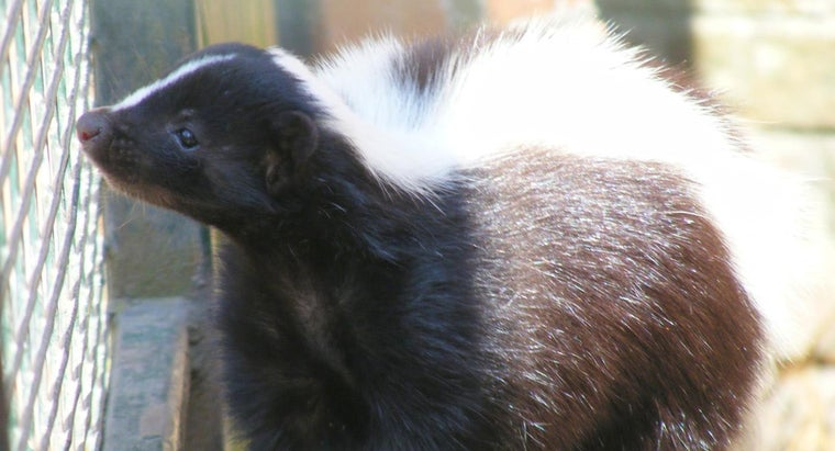 What Causes Skunk Odor to Linger?