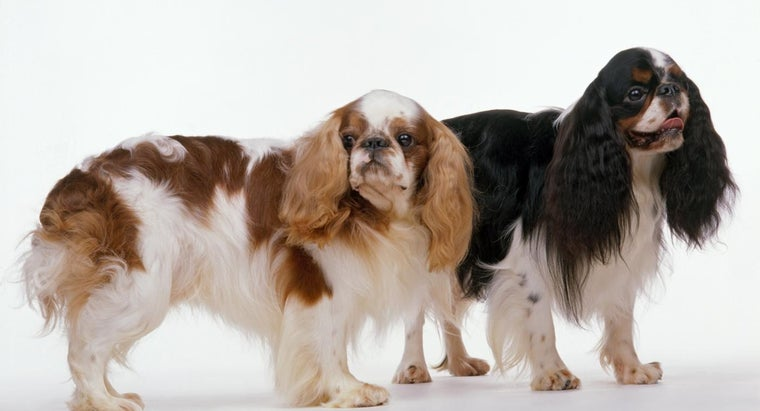 What Is a Cavalier King Charles Spaniel Mix?