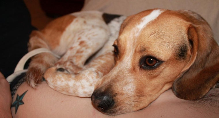 What Are Some Characteristics of Bluetick Beagles?