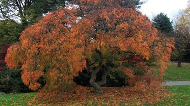What Are the Characteristics of a Cutleaf Japanese Maple Tree?