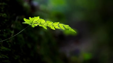 What Are the Characteristics of Ferns?
