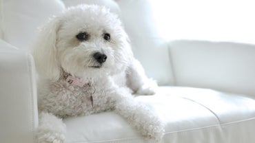 What Are the Characteristics of a Maltipoo?