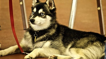 What Are Some Characteristics of a Miniature Alaskan Malamute?