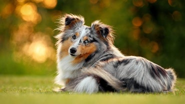 What Are Some Characteristics of Miniature Collie Puppies?