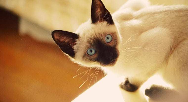 What Are Some Characteristics of Siamese Mix Cats?