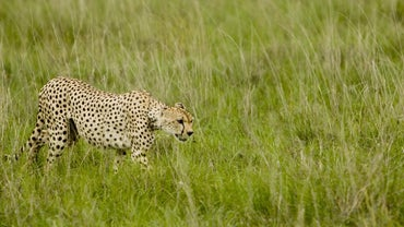 How Do Cheetahs Survive in the Wild?