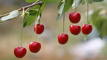 Are Cherries a Type of Berry?