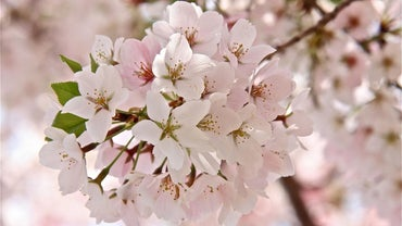 What Is a Cherryblossom?