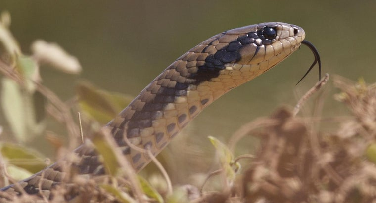 Are Chicken Snakes Dangerous?