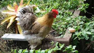 How Do Chickens Mate?