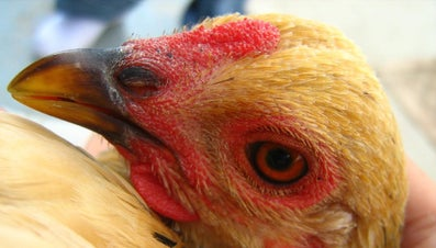 Do Chickens Have Teeth?