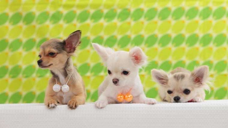 When Do Chihuahua Puppies Open Their Eyes Referencecom