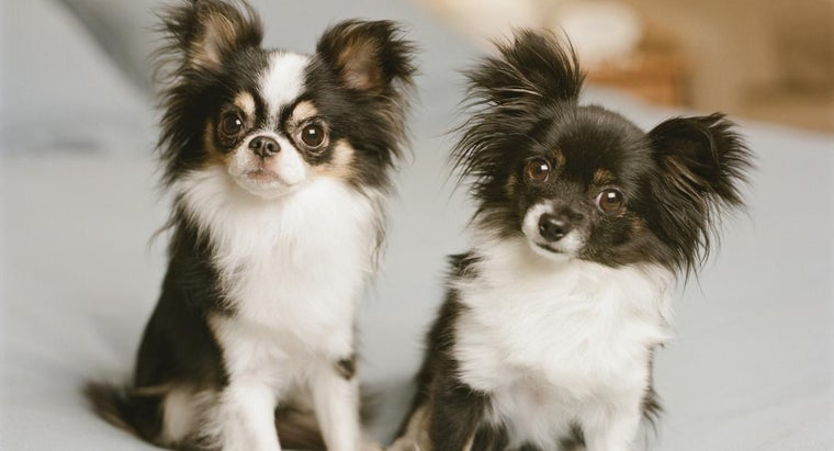 When Will My Chihuahua's Ears Stand Up?