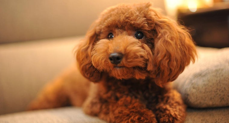 What Is a Chocolate Toy Poodle?