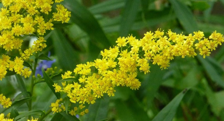 How Are Citronella Plants Grown?