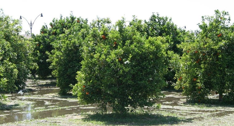 What Climate Best Suits a Citrus Tree?