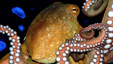 What Is an Octopus' Phylum?