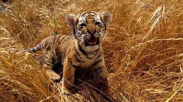 What Color Eyes Do Baby Tigers Have?